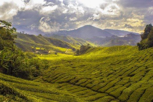 Cameron Highlands, Malaysia.Visit the Tea Plantation