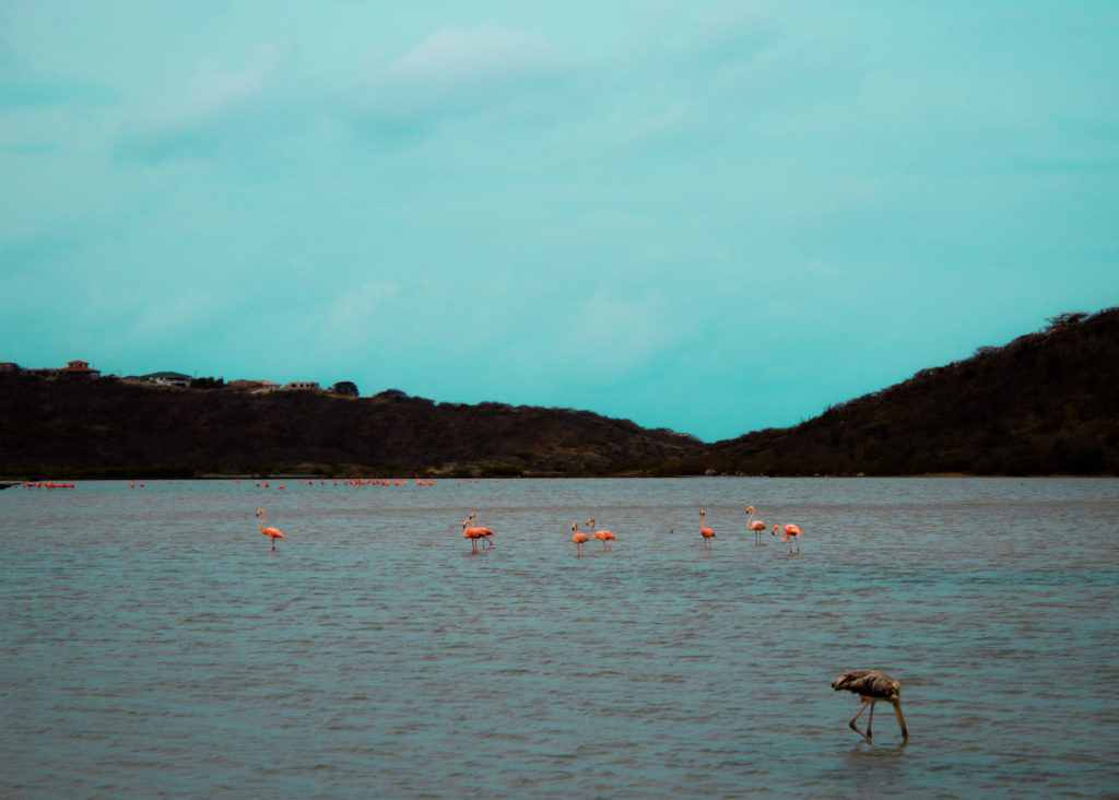 Wild Flamingoes in Curacao